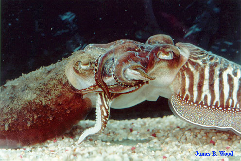 Cuttlefish mating; side view