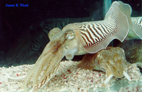 Cuttlefish after mating, male on top