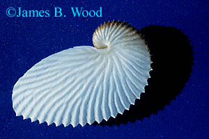 Argonauta nodosa, Paper nautilus