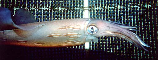 Loligo forbesi, Veined squid